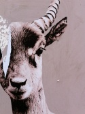 La Gazelle des Blancs Manteaux